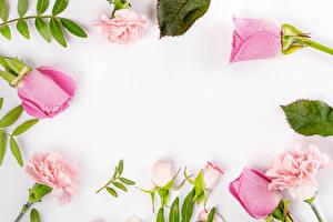 Hintergrundbilder Rosen Nelken Weißer hintergrund Vorlage Grußkarte Rosa Farbe Blumen