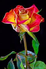 Fotos & Bilder Rosen Großansicht Schwarzer Hintergrund Blumen