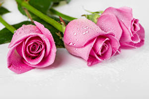 Wallpapers Roses Gray background Three 3 Pink color Drops Flowers