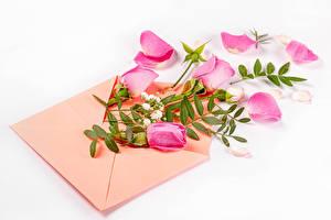 Hintergrundbilder Rosen Weißer hintergrund Briefumschlag Rosa Farbe Kronblätter Blumen