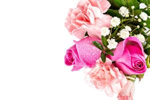 Fotos & Bilder Rosen Weißer hintergrund Rosa Farbe Tropfen Vorlage Grußkarte Blumen
