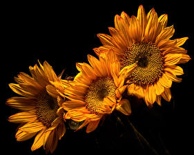 Photo Sunflowers Closeup Black background Three 3 Flowers
