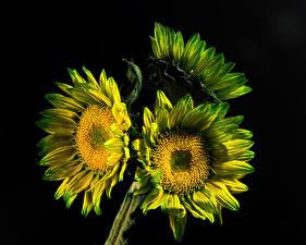 Desktop wallpapers Sunflowers Closeup Black background Three 3 flower