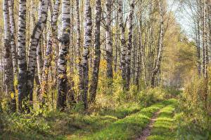 Hintergrundbilder Bäume Birken Gras Weg