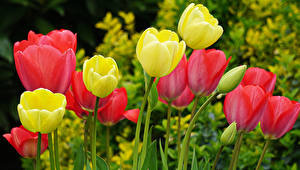 Fotos Tulpen Hautnah Knospe Blüte