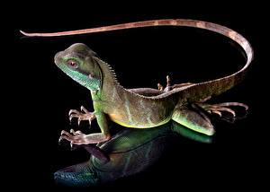 Fotos & Bilder Echsen Schwanz Schwarzer Hintergrund chinese water dragon Tiere