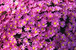 Fondos de escritorio Asters Muchas Violeta color Symphyotrichum novi-belgii