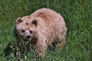 Fotos Bären Braunbär Gras Blick Tiere