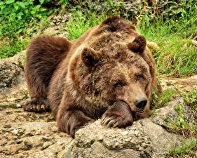 Fotos Bären Braunbär Ruhen Pfote Blick Tiere