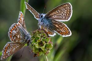 Fonds d'écran Papillons Insectes En gros plan 2 common blue Animaux