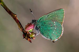Fonds d'écran Papilionoidea Insectes En gros plan green hairstreak Animaux