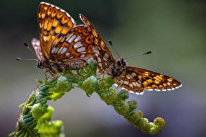 Fonds d'écran Papillons Insectes En gros plan Deux hamearis lucina Animaux