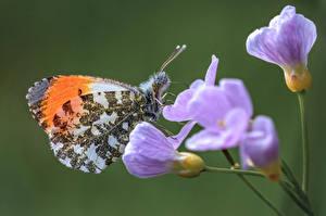 Fotos Schmetterling Insekten Nahaufnahme orange tip
