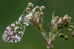 Fondos de Pantalla Lepidoptera Insectos De cerca orange tip Animalia imágenes