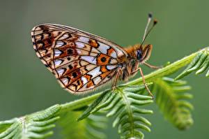 Hintergrundbilder Schmetterlinge Insekten Hautnah small pearl-bordered fritillary