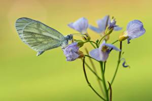 Fonds d'écran Papilionoidea Insectes En gros plan wood white un animal