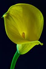 Fonds d'écran Calla des marais En gros plan Fond noir Jaune Fleurs