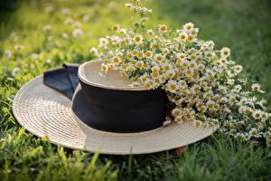 Fondos de escritorio Matricaria Hierba Sombrero de flor