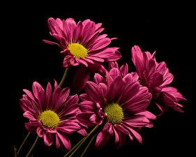 Fonds d'écran Chrysanthemum En gros plan Fond noir Fleurs