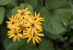 Обои Вблизи Боке Желтых Ligularia цветок
