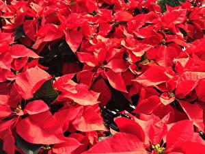 Fondos de escritorio De cerca Rojo Poinsettia