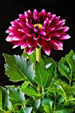 Fonds d'écran Dahlias En gros plan Rouge foncé Fond noir Fleurs