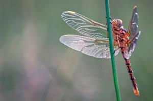 Fonds d'écran Libellules Insectes En gros plan keeled skimmer un animal