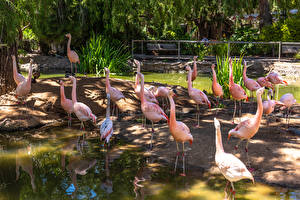 Fotos Flamingos Vogel Viel Teich ein Tier