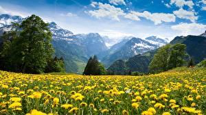 Bilder Grünland Taraxacum Viel Gebirge Landschaftsfotografie Natur