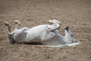 Fotos Pferde Liegt ein Tier