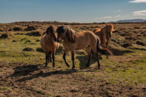 Fotos Island Pferde Drei 3
