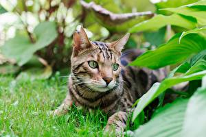 Images Leopard cat Cat Foliage Grass Lying down Glance Animals