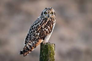 Fotos Eulen Vogel Unscharfer Hintergrund short-eared owl ein Tier