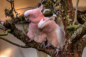Bilder Papagei Vögel 2 Rosa Farbe pink cockatoos ein Tier