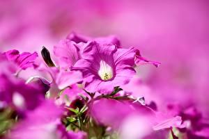 bilder Petunia Bokeh Rosa farge Blomster bilder skrivebordsbakgrunn