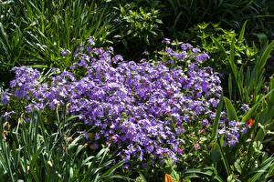 Fondos de escritorio Phlox Muchas Violeta color