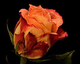 Fonds d'écran Rose En gros plan Orange Fond noir Séchez Fleurs