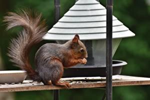 Bilder Eichhörnchen Seitlich Schwanz