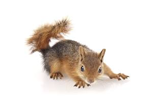 Photo Squirrels White background Glance Whiskers Animals