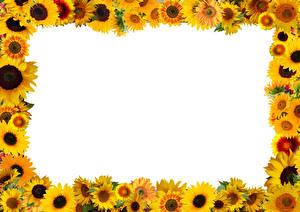 Hintergrundbilder Sonnenblumen Vorlage Grußkarte Weißer hintergrund