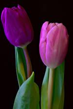 Fonds d'écran Tulipes En gros plan 2 Fond noir fleur