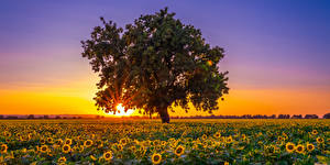 Pictures USA Fields Sunflowers Sunrise and sunset California Trees Sun Nature