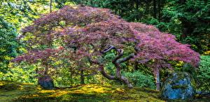 Sfondi desktop Stati uniti Giardini Alberi Portland Japanese Garden Natura