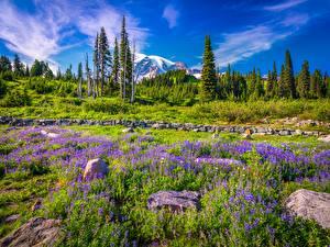 Bilder Vereinigte Staaten Parks Gebirge Lupinen Steine Washington Bäume Mount Rainier National Park