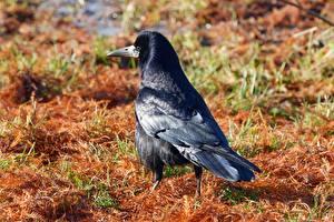 Fotos Vögel Aaskrähe Hinten Schwarz