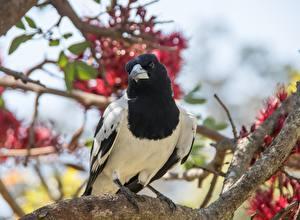 Fondos de escritorio Aves Urraca común Rama Bokeh Contacto visual animales