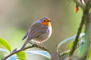 Desktop wallpapers Bird Blurred background Branches European robin animal