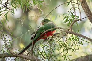 Fondos de escritorio Pájaro Loros Rama Fondo borroso Royal Parrot
