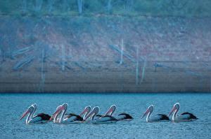Fondos de escritorio Pájaros Pelecanus Muchas Nadar un animal