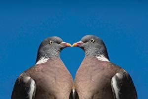 Fondos de escritorio Pájaros Palomas Fondo de color Dos Pico zoología